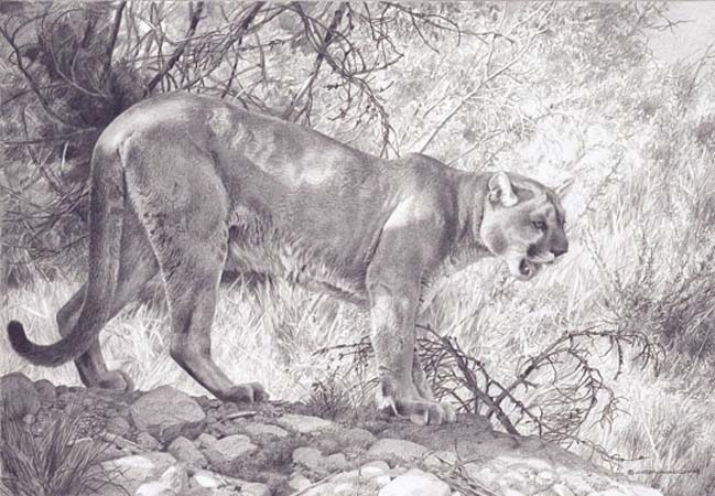 Carl Brenders Ghost Cat Cougar Pencil Drawing