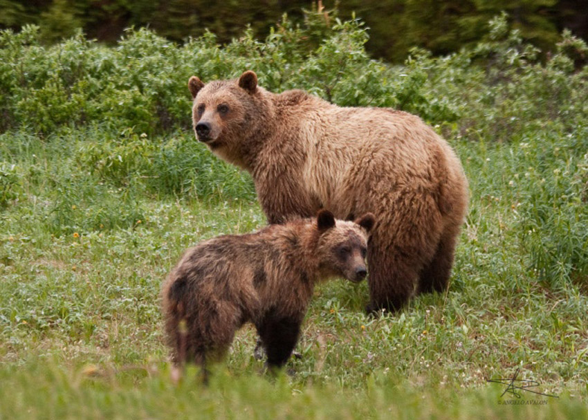 Angelo Avlonitis Grizzly Bear and Cub