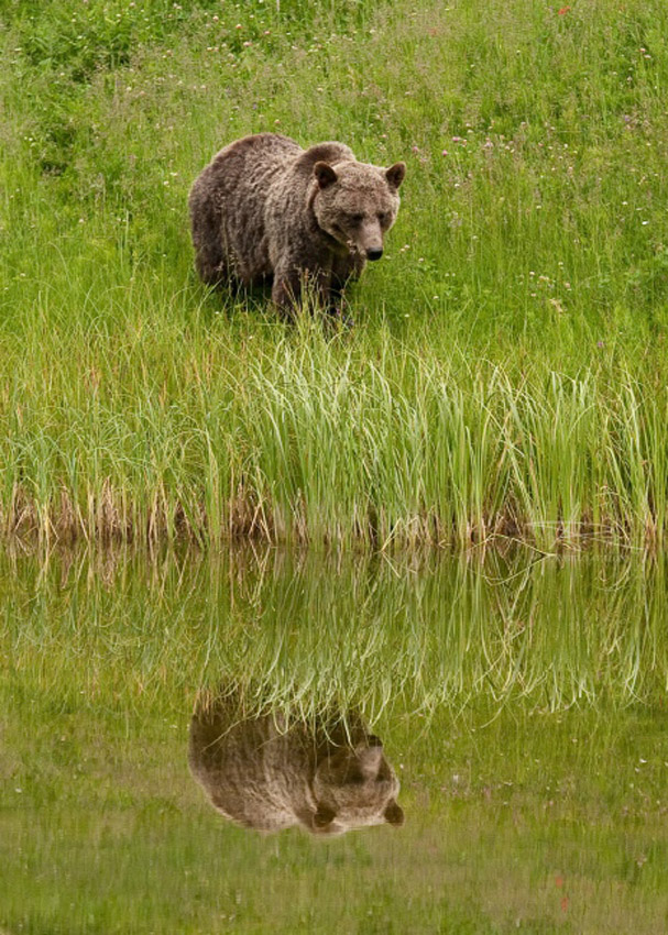 Angelo Avlonitis Grizzly Bear Reflection