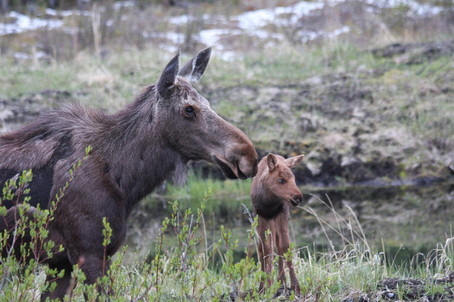 Angelo Avlonitis Mother Moose and Baby