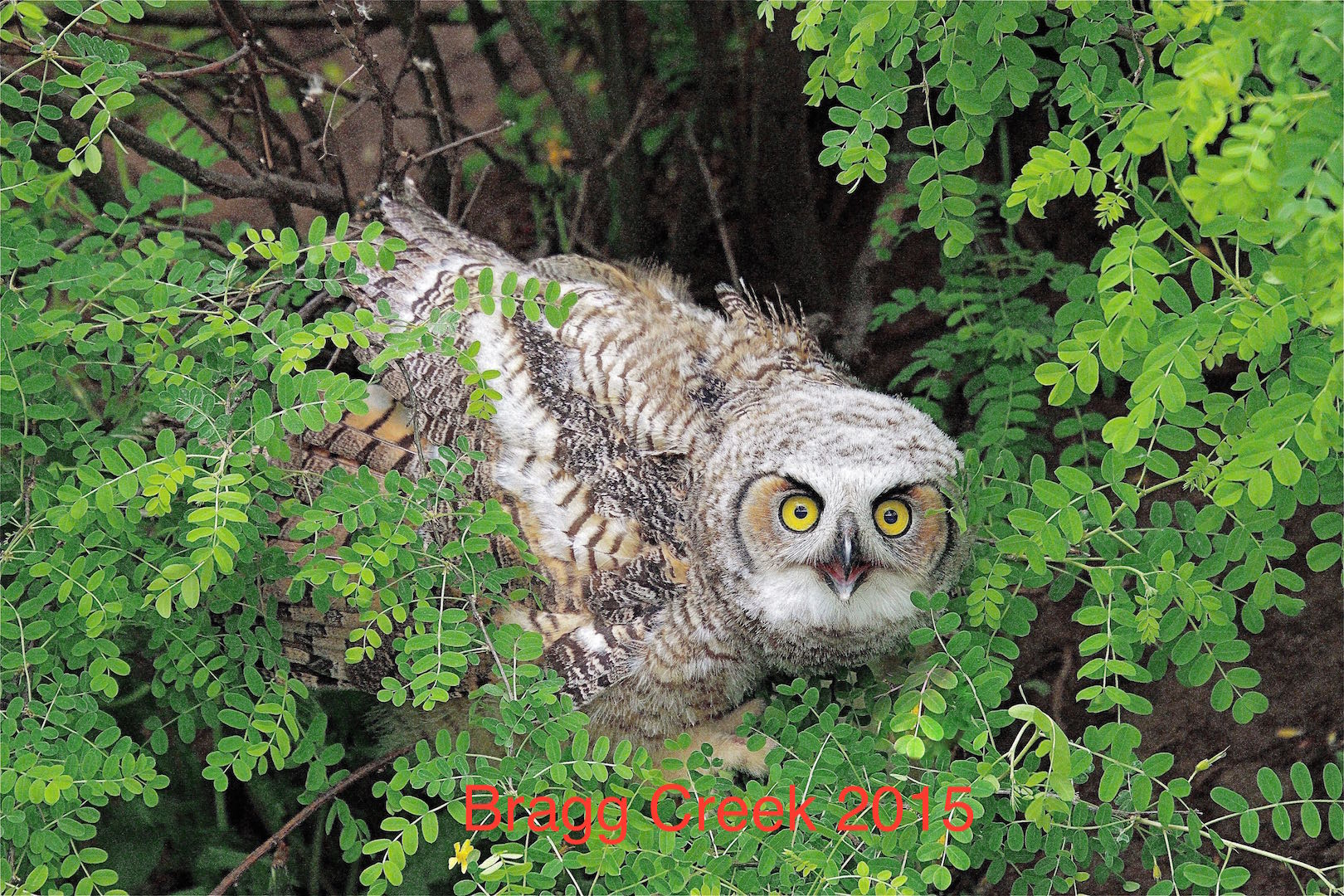Lloyd Baird Great Horned Owl