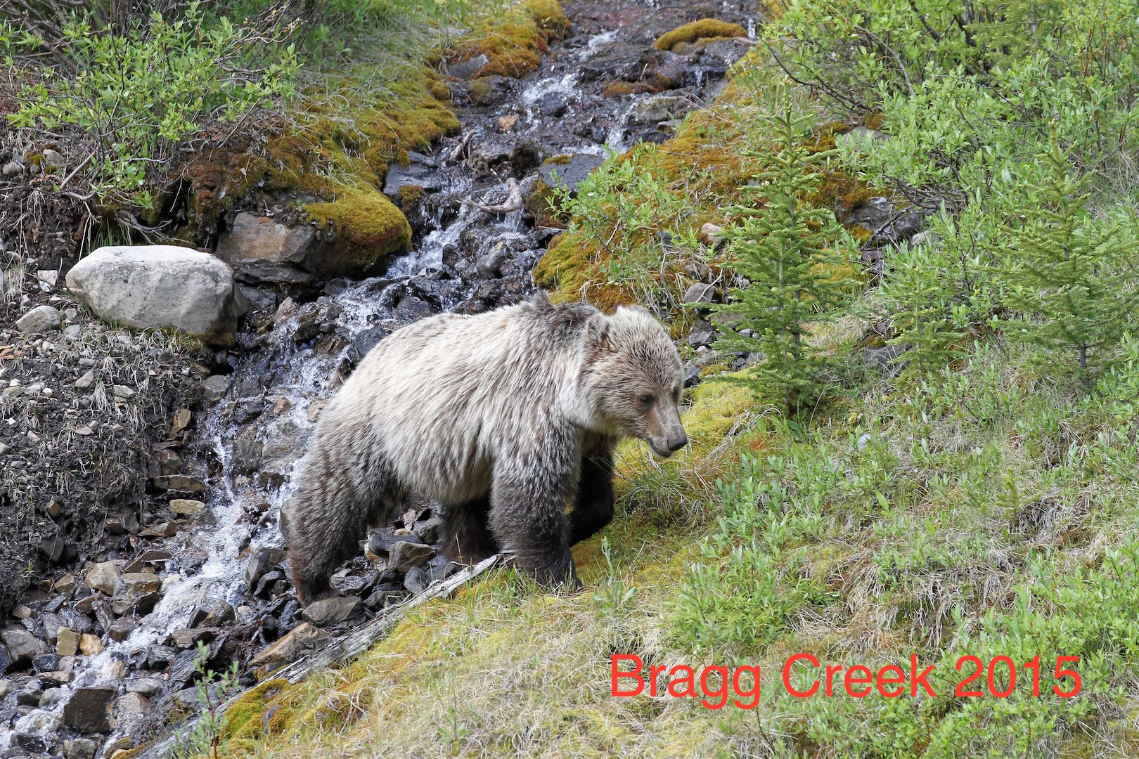Lloyd Baird Grizzly Bear Creek