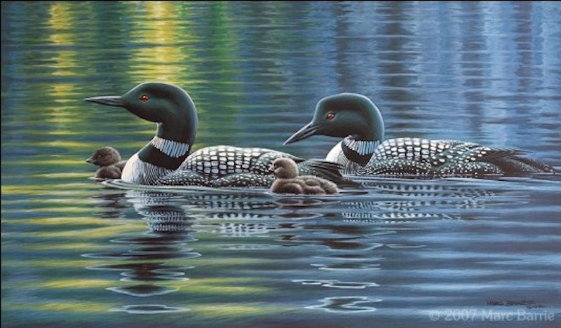 Marc Barrie Common Loons Family Pride