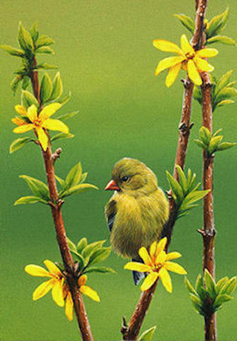 Marc barrie Goldfinch and Forsythia