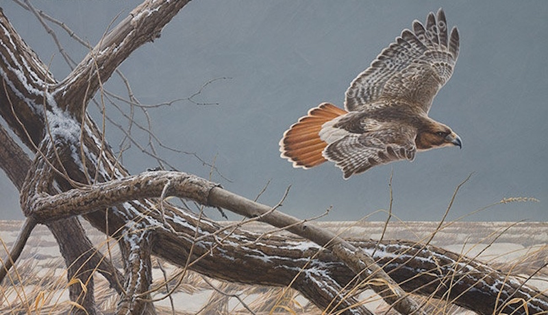 Marc Barrie Red-tailed Hawk