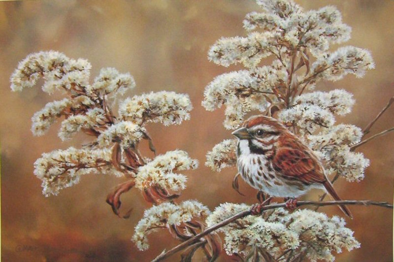 Marc Barrie Song Sparrow
