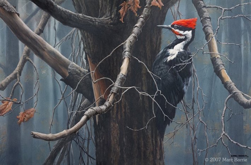 Marc Barrie The Ghost Pileated Woodpecker