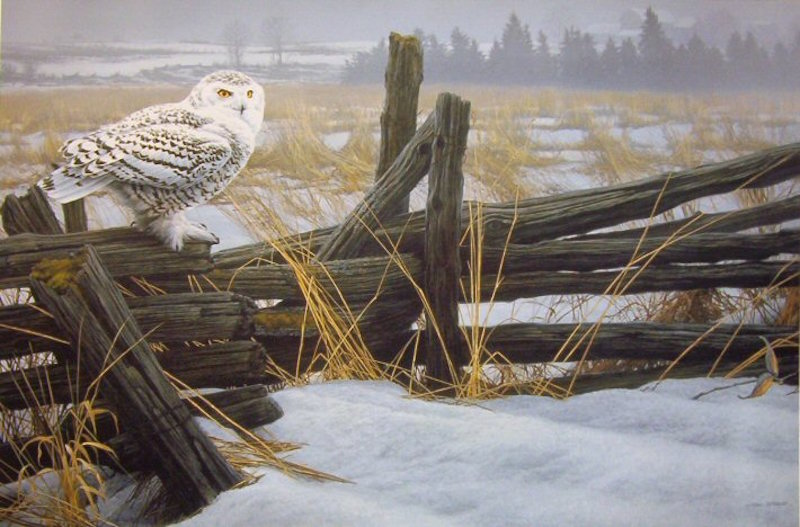 Marc Barrie The Traveller Snowy Owl