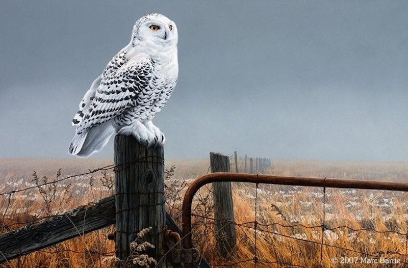 Marc Barrie The Visitor Snowy Owl