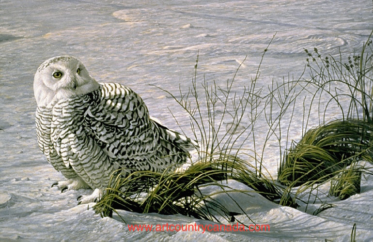 Robert Bateman Afternoon Glow Snowy Owl