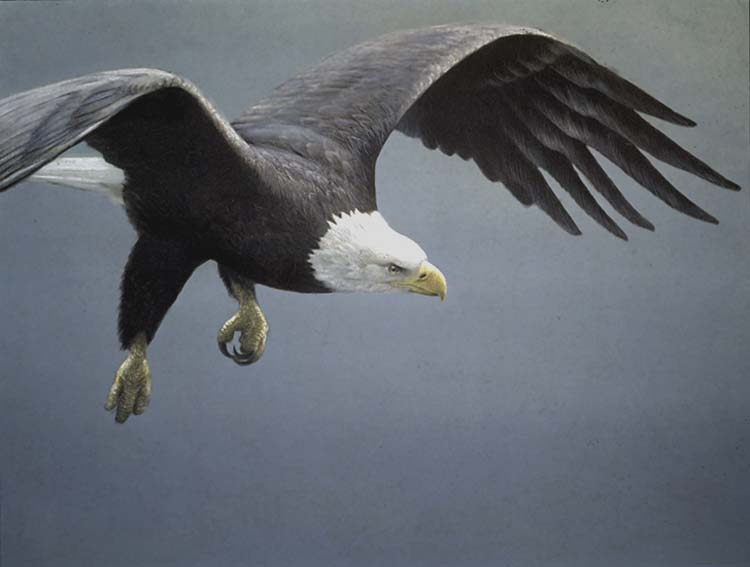 Robert Bateman Approach - Bald Eagle