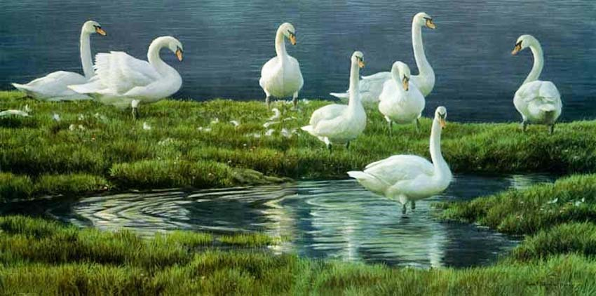 Robert Bateman Bank Of Swans Original Painting