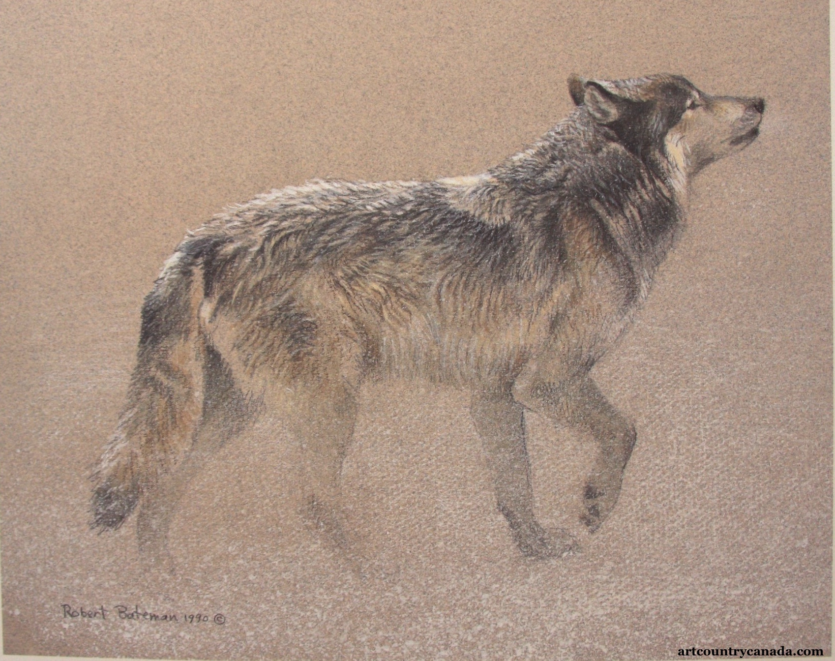 Robert Bateman Catching The Scent Wolf