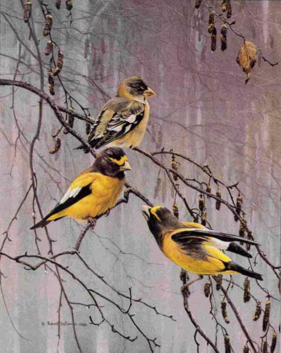 Robert Bateman Evening Grosbeaks