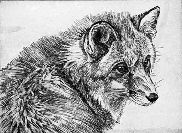 Robert Bateman Fox Etching
