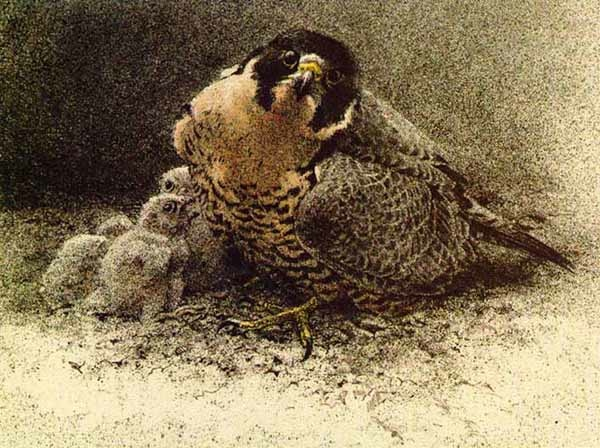 Robert Bateman peregrine and Young