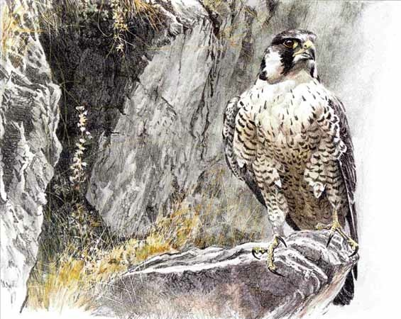 bateman Peregrine Falcon On The Cliff