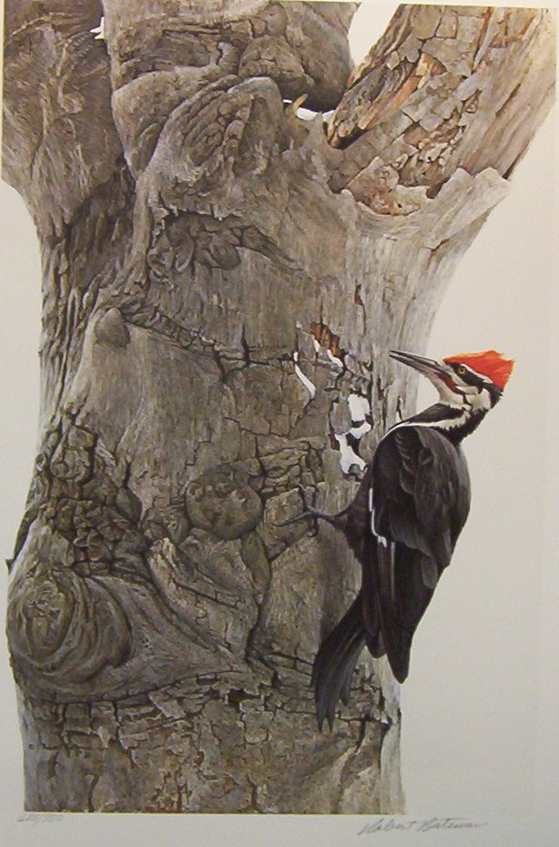 Robert Bateman Pileated Woodpecker In Beech Tree