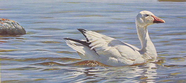 Robert Bateman Proud Swimmer Snow Goose