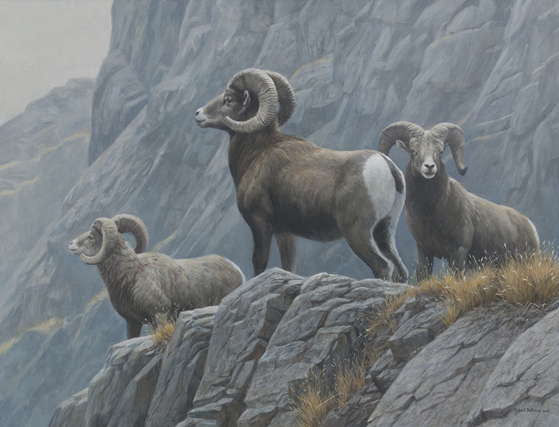 Robert Bateman Surveying Bighorn Sheep