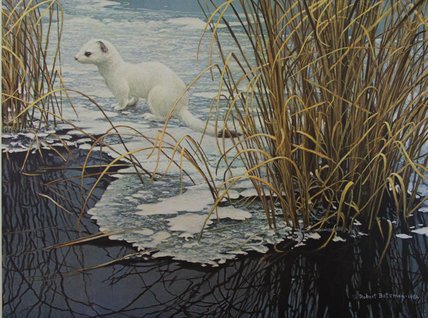 Robert Bateman Edge of the Ice Ermine