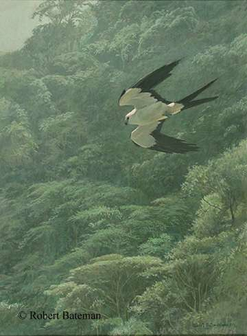 Robert Bateman Swallow-Tailed Kite