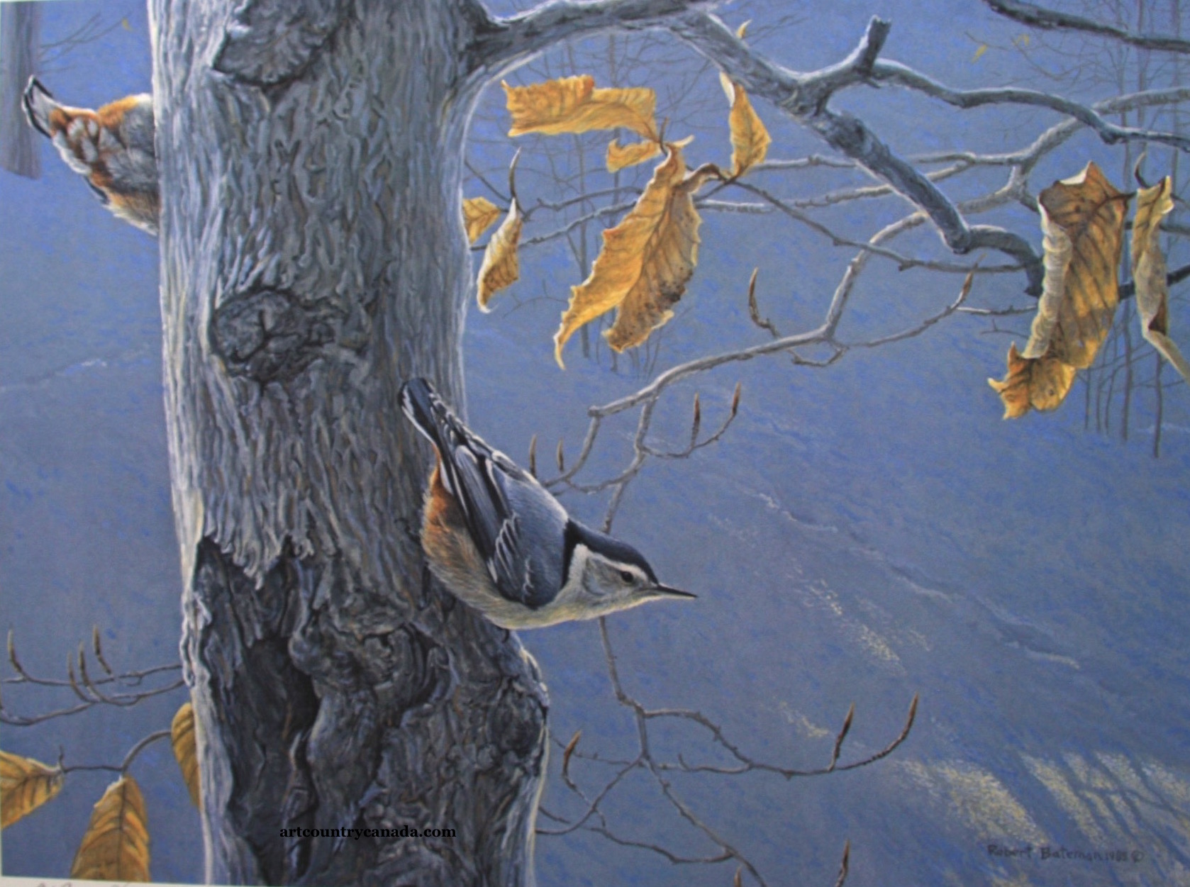 Robert Bateman White Breasted Nuthatch On A Beech tree