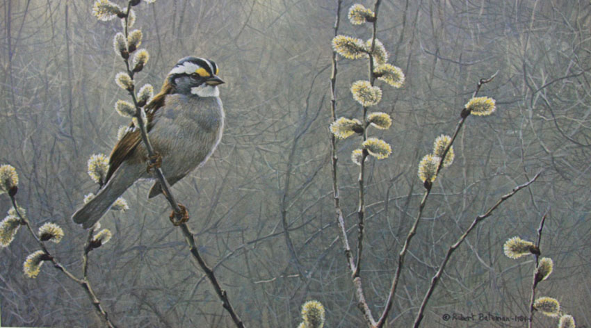 Robert Bateman White Throated Sparrow and Pussy Willow
