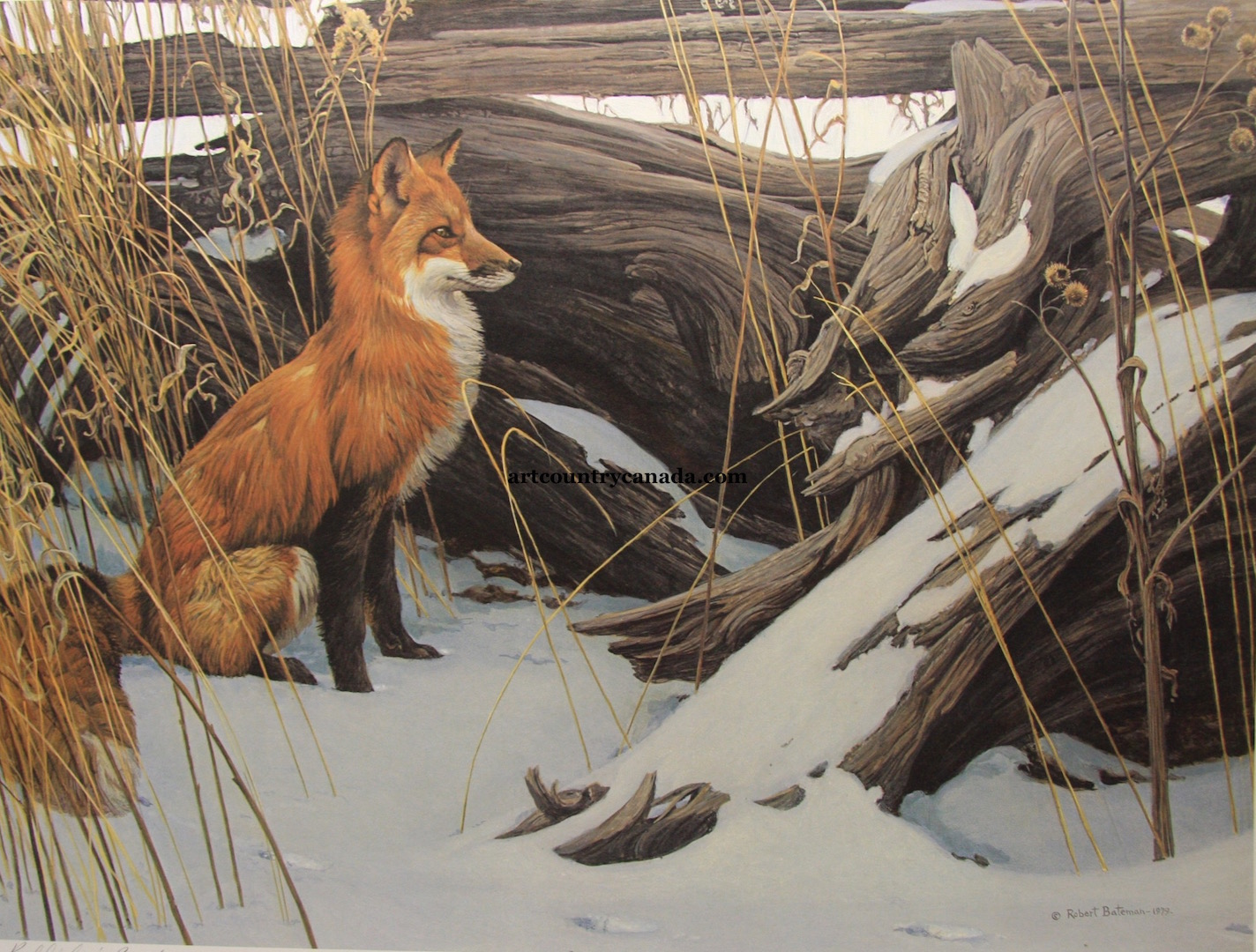 Robert Bateman Wily And Wary Red Fox