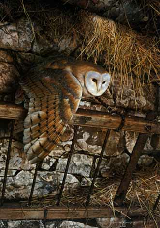 Carl Brenders Mysterious Visitor Barn Owls