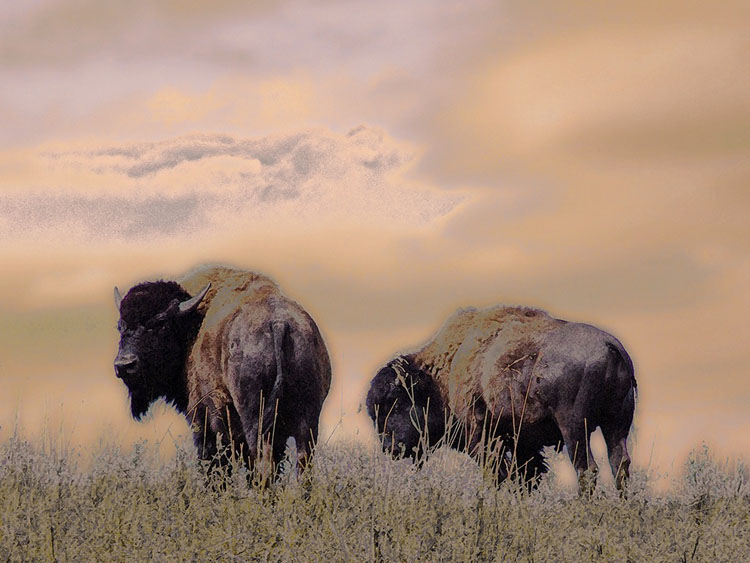 Tracy Burton Two Bison
