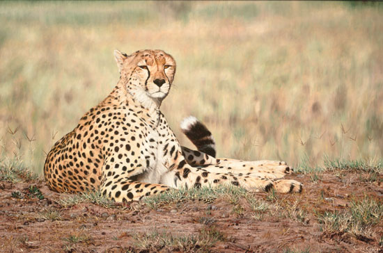 Simon Combes Arrogance Cheetah