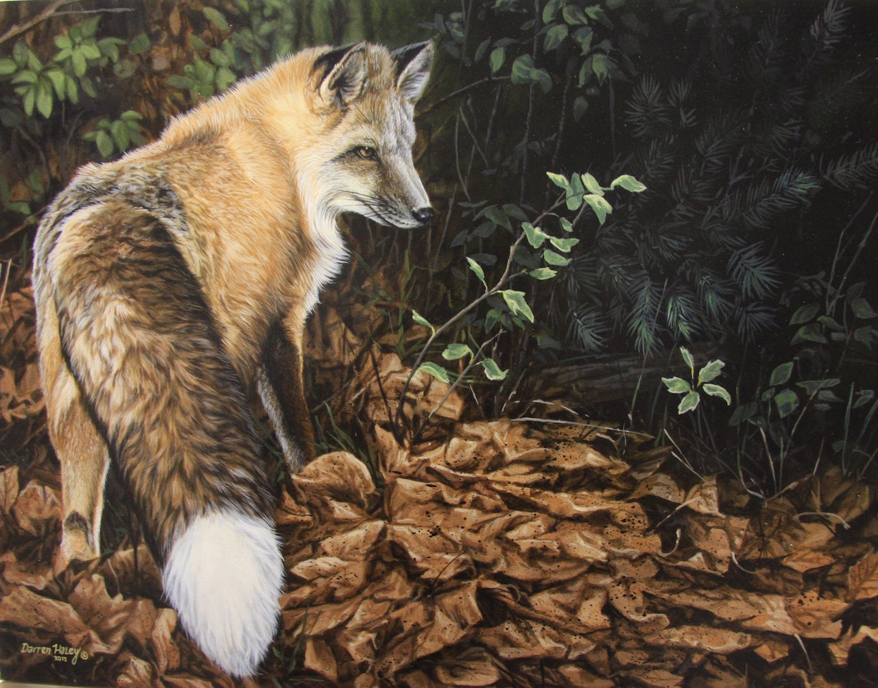 Darren Haley Red Fox