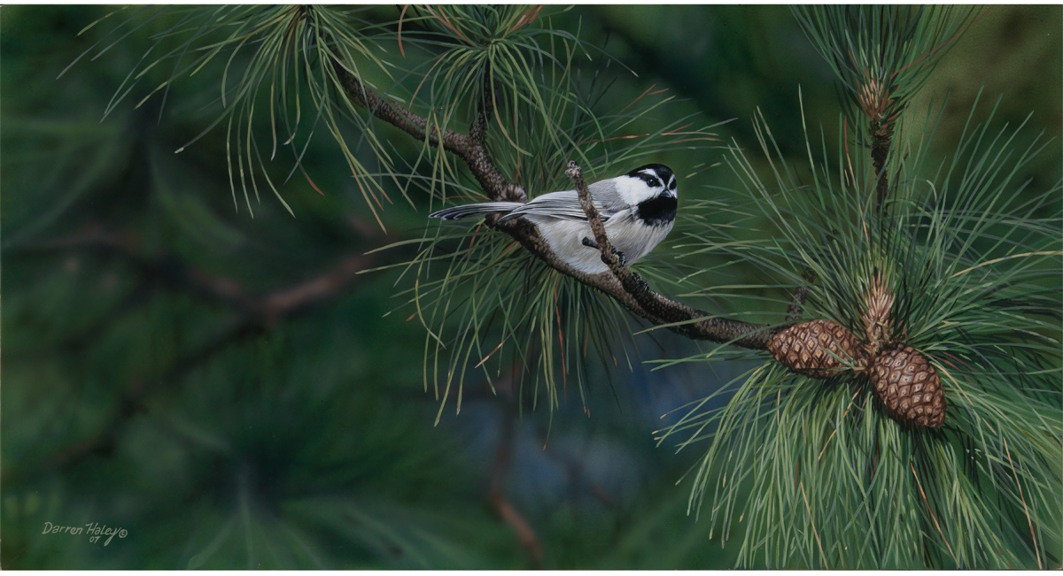 Darren Haley Bragg Creek Mountain Chickadee