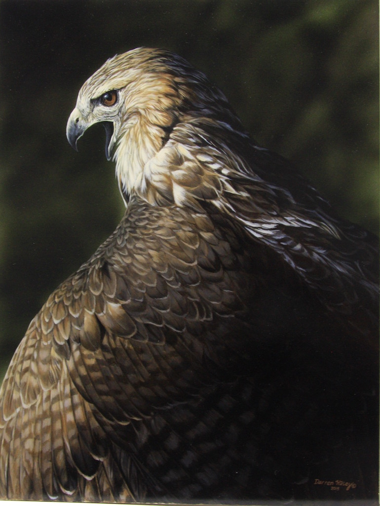 Darren Haley Red Tail Hawk Mantling