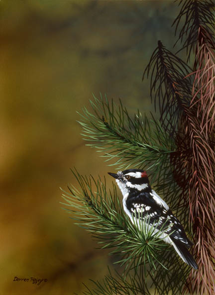Darren Haley B.C. Downy Woodpecker