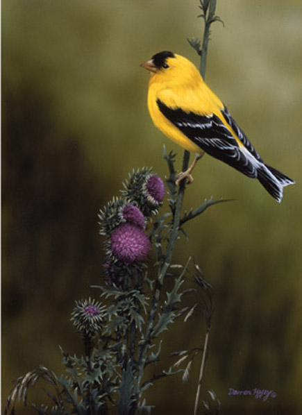 Darren Haley Goldfinch and Thistle