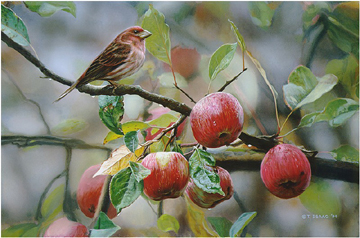 Terry Isaac Apple Time Purple Finch