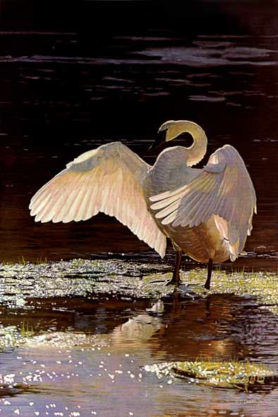 Terry Isaac Into the Light Trumpeter Swan