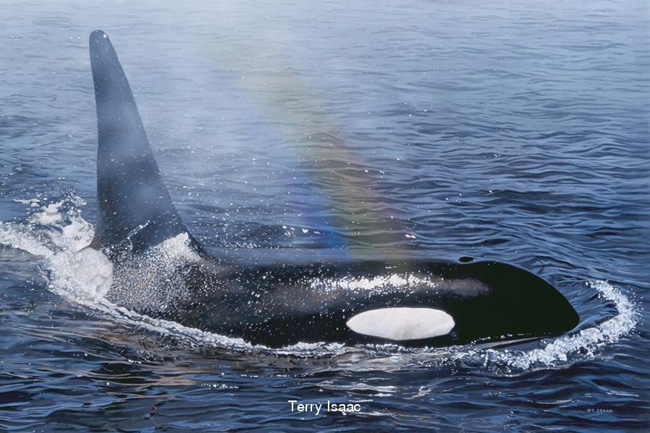 Terry Isaac Rainbow Spray Killer Whale Orca