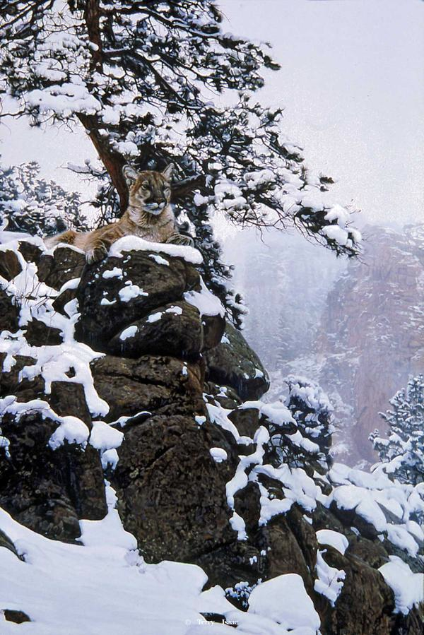 Terry Isaac Snow Spirit Cougar