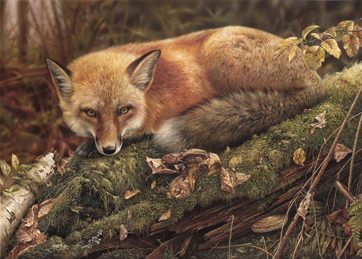 Denis Mayer Sly Wanderer Red Fox