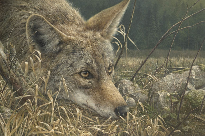 Denis mayer So Close Coyote