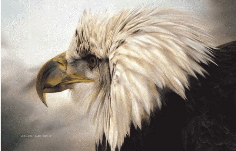 Michael pape Bald Eagle Immaturelad