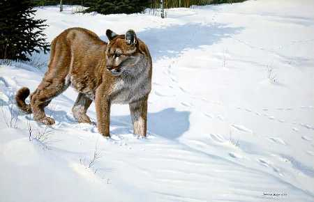 John Seerey Lester First tracks Cougar