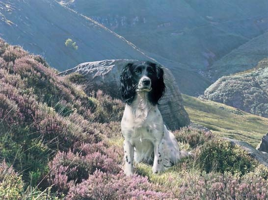Steven Townsend Hawk English Springer Spaniel