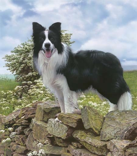 Steven Townsend Trooper Border Collie