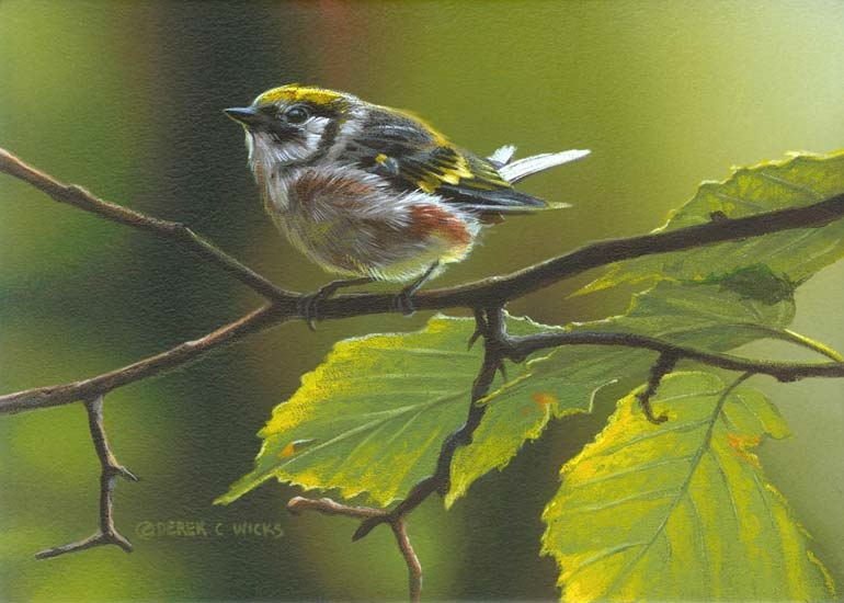 Derek Wicks Chestnut Sided Warbler